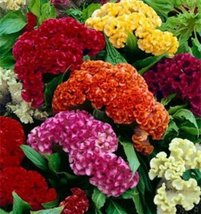Celosia Crested Cockscomb Mix 500 seeds Cut Flower easy grow - $7.99
