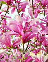 "Ann Magnolia 2 1/2"" pot shrub/tree image 5"