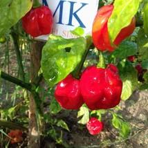 Habanero Red Dominicana,10 semillas,seeds,Capsicum chinense ,cosecha pro... - $2.23