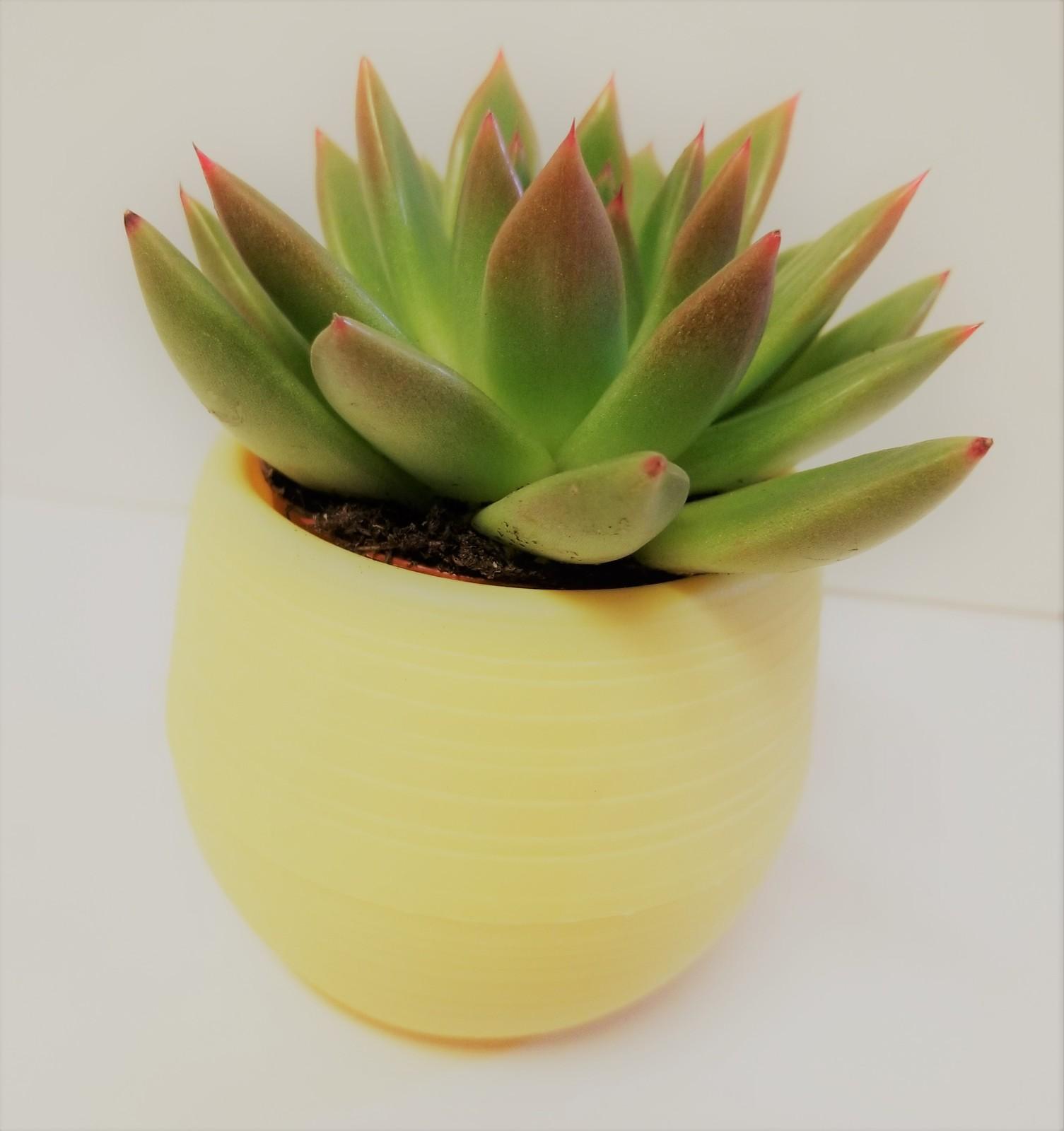 Echeveriamiranda yellow 1