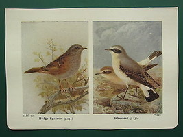 VINTAGE BIRD PRINT ~ HEDGE-SPARROW ~ WHEATEAR - $36.17