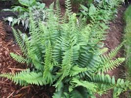 Christmas fern 20 rhizome (Polystichum acrostichoides) image 3