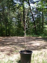 4ft live Nonpareil Almond Nut Tree 5g Trees Plants Nuts Ship to all 50 S... - $96.95