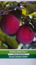 Southern Belle Plum 5 Gal Fruit Tree Plant Sweet Juicy Plums Trees Plants - $98.95
