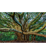 "Pipiwai Banyan in Maui - 24"" x 36"" Stretched Canvas Print - Special Price - $199.00"