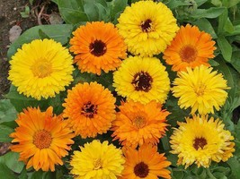 SHIP FROM US 72,000 Calendula Pacific Beauty Mix Seeds, ZG09 - $119.96