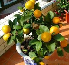 10Pcs Rare Lemon Fruit Seeds Kaffir Lime Potted Balcony Planting Seasons - $9.24