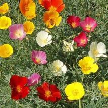 Non GMO Bulk California Poppy Seeds - Mixed Colors Eschscholzia californ... - $21.73