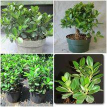 Green Island Ficus Plants ~ Ficus Microcarpa 4 - 7 Inches Tall - $12.00