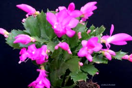 "Pink Christmas Cactus Live Plant - Growing in 6"" Pot - Great Green Gift ... - $24.96"