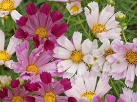 SHIP FROM US 8,000 Cosmos Sea Shells Mix Seeds, ZG09 - $44.76