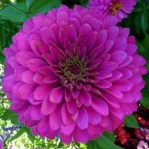 150 Zinnia Seeds Higro Purple Flower Flower Seeds - Garden Seed - Outdoor Living - $67.99
