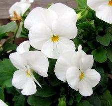 50Pcs White Pansy Seeds, White Viola Seeds, White Pansies, Non-Gmo Heirl... - $13.99