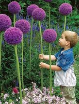 1 Bulbs - Allium giganteum  - $20.99