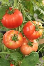100 Bush Beefsteak Tomato Seeds Vegetable Seeds - Garden Seeds - Outdoor Living - $37.99