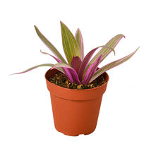"""Oyster Plant - In 4"""" Pot - Houseplant - Home Garden - Outdoor Living - D11 - $31.99"""