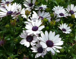 120 Seeds Osteospermum African Daisy Sky Ice O Ecklonis White Purple Eye Flower  image 2
