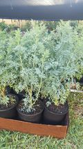 Ruda Plant Common Rue Ruta graveolens Herb of Grace pot - $39.99