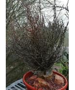 Fouquieria (Idria) columnaris Baja Boojum Tree ... - $346.45