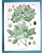 BOLDO TREE Medicinal Peumus Boldus - Beautiful COLOR Botanical Print - $28.69