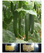 Long Greek Cucumber ~20 Top Quality Seeds - Amazing Variety! - $14.18