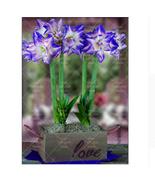 Amaryllis Bulbs, Barbados Hippeastrum Bulb, Royal Blue, Big Flower, 2 Bulbs - $12.99