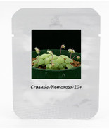 Crassula Nemorosa Seeds Anti-radiation Succulent Plant, 20 seeds / pack - $15.00