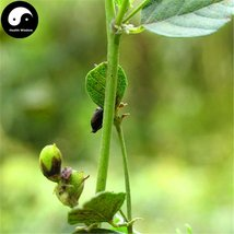 Buy Fructus Psoraleae Seeds 200pcs Plant Chinese Malaytea Scurfpea For B... - $9.99