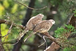 Bird Photography Print, Inca Doves - $15.84+