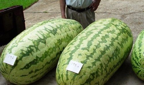 SHIPPED From US_Carolina Cross 18 Watermelon, Enormous fruits 25 SEEDS-WB