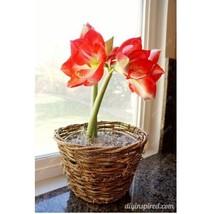 HAPPY FLOWER 2 Bulbs KETAWANGGEDE True Hippeastrum Rutilum Amaryllis Lov... - $1.79