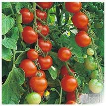400 seeds Organic, Heirloom Gardeners Delight Tomato New seeds - $26.00