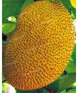 200pcs Fresh Jackfruit seeds Tropical Rare Giant Tree Seeds fruit garden... - $20.00