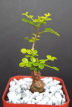 """Cactus Operculicarya Decaryi Madagascar Natural Bonsai Plant Caudex 2"""" Pot - $49.99"""