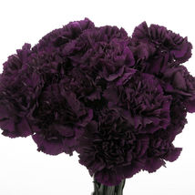 Carnation 'King of Blacks' ~Dianthus Caryophyllus~ 20+ Perennial Seeds - $9.99