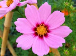 300 Pcs Seeds Bipinnatus Gloria Cosmos Pink Flower - DL - $16.00