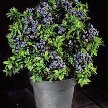 SHIPPED FROM US 2000 Bulk Dwarf Top Hat Variety Blueberry Fruit Seed, JK05 - $27.92