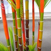 10 Seed Lipstick Palm Cyrtostachys Renda Tree, DIY Beautiful Tree DO - $8.99