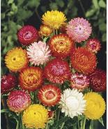 500 Seeds Helichrysum Seeds Bikini Mix Strawflower Seeds TkMorebargins - $35.64