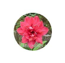 HAPPY FLOWER 2 Bulbs TUNJUNGSEKAR True Hippeastrum Rutilum Amaryllis Lov... - $1.79
