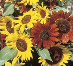 Sunflower Seeds - Autumn Beauty - Flower Seeds - Starts Nursery - Outdoor Living - $23.50+