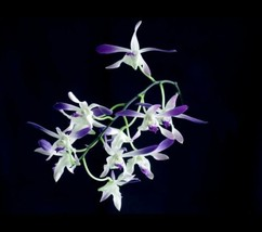 Dendrobium Blue Twinkle Antelope Type Orchid Plant Blooming Size!________ image 1