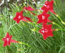 10 Pcs Seeds Cypress Vine Ipomoea Quamoclit Flower - DL - $16.00