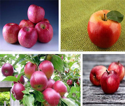 50pcs 10 kinds Apple Seeds 2016 Organic Heirloom Seeds Fruit Seeds NON-GMO - $3.94