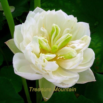 1 seeds / pack, 'Fickle in Love' White Lotus Water Lily Flower DIY #NF210 - $6.43