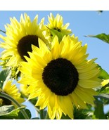 Lemon Queen Sunflower 15 Seeds Many beautiful flowers on each plant! Com... - $15.48