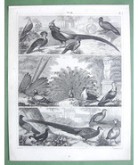BIRDS Peasant Pigeon Dove Starling Wren Oriole ... - 3x 1844 SUPERB Prin... - $15.26