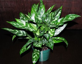 Evergreen 8' Aglaonema 'Maria' Chinese Excellent Tropical Houseplant - $119.89