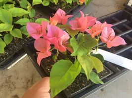 Orange King Bougainvillea Live Plant For Garden#TkGrayGarden - $44.00