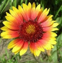 SHIP FROM US 30 Seeds Torchlight Gaillardia Aristata,DIY SB Flower Seeds - $27.99